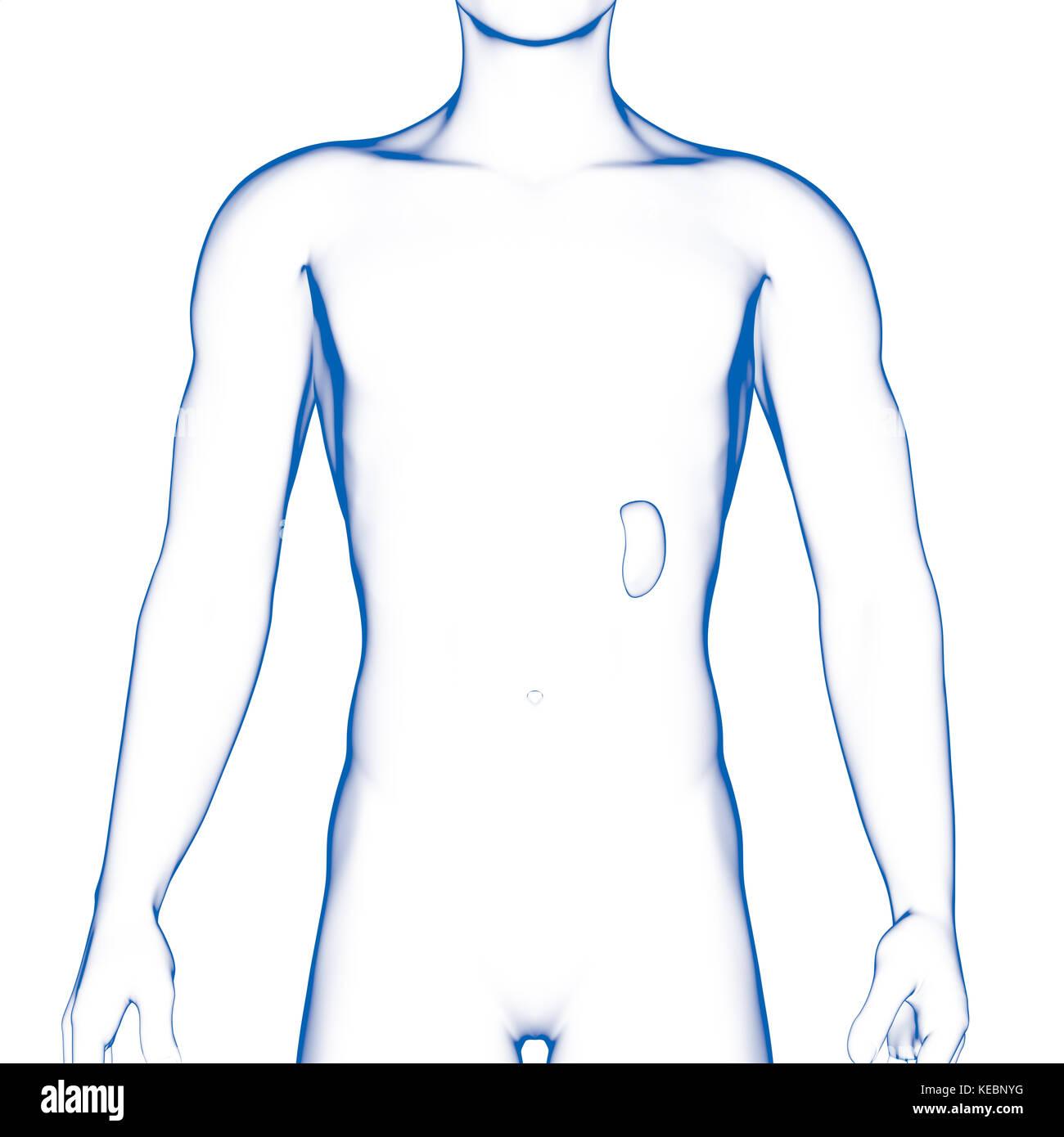 Dorable Imagen De Un Bazo En El Cuerpo Humano Friso - Anatomía de ...
