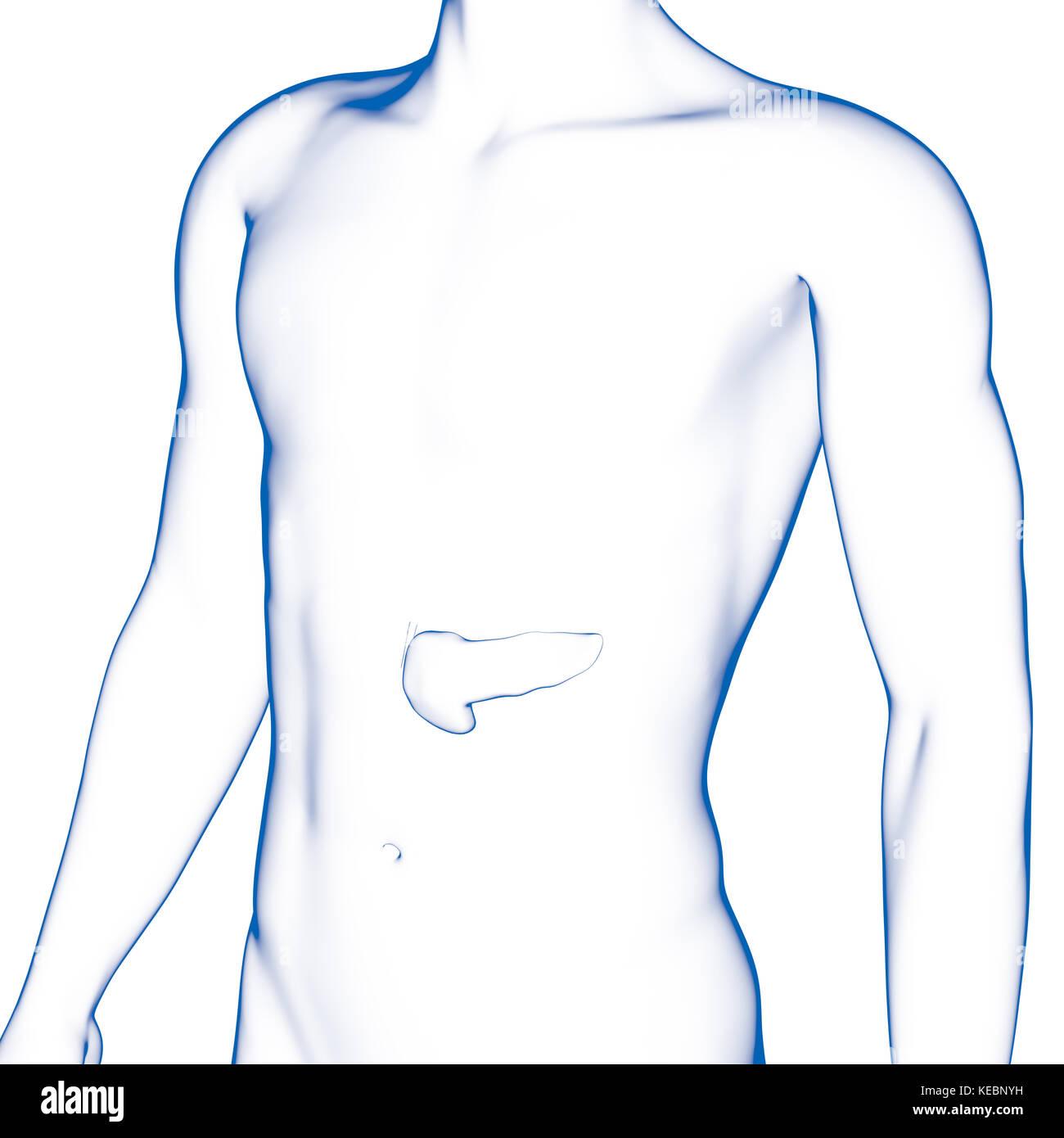 Human Pancreas Imágenes De Stock & Human Pancreas Fotos De Stock - Alamy