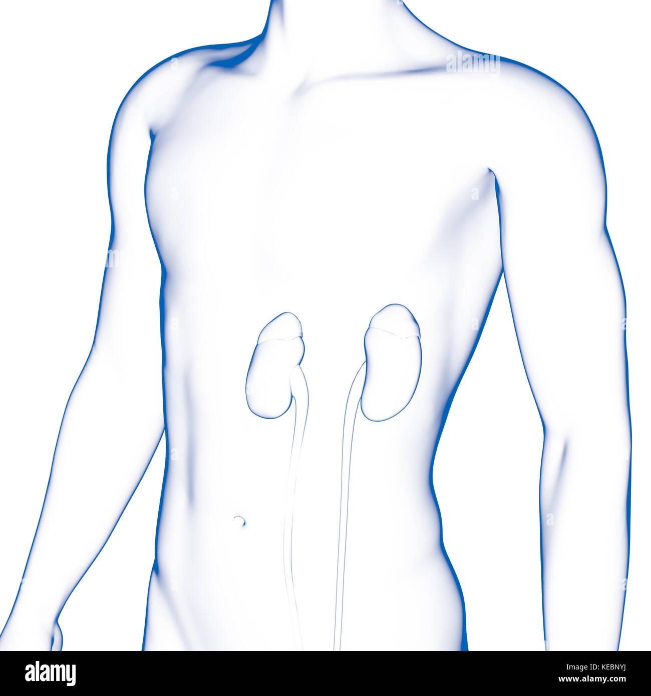 El riñón, órgano interno, cuerpo humano Foto & Imagen De Stock ...