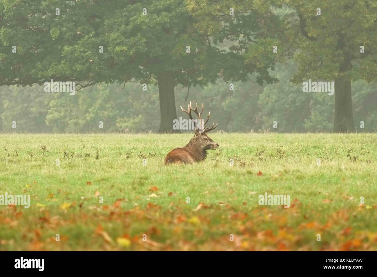 Londres, Reino Unido 19 Oct 2017. Ciervo en un misty mañana durante la temporada de celo en Windsor Geat Park.Hay Foto de stock