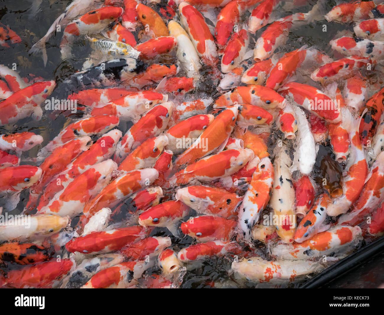 Bighead carp im genes de stock bighead carp fotos de for Estanque carpas koi