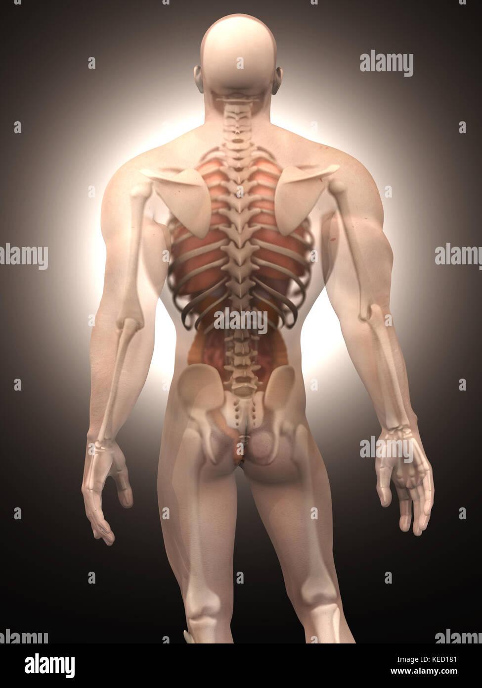 Visualización 3D de la anatomía humana. los órganos internos en un ...
