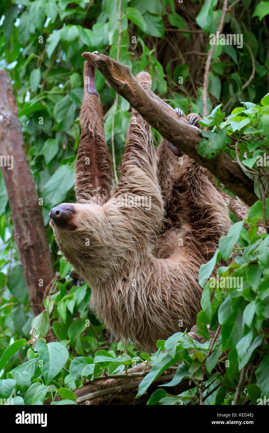 Linneo dos dedos cada sloth (Choloepus didactylus), cautiva, apariciones en el centro y el Norte de América del Sur Foto de stock