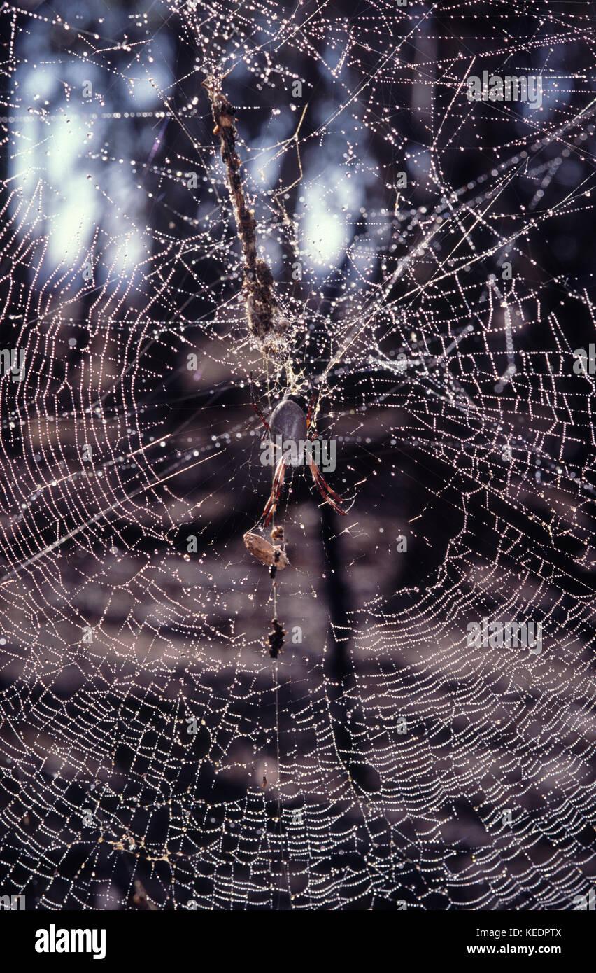 Golden orb y araña tejer su web Imagen De Stock