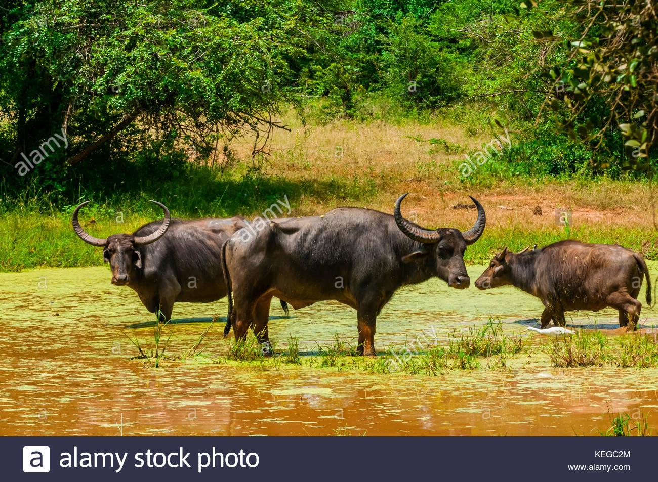 Búfalos salvajes, el Parque Nacional de Yala, la provincia meridional de Sri Lanka. Imagen De Stock