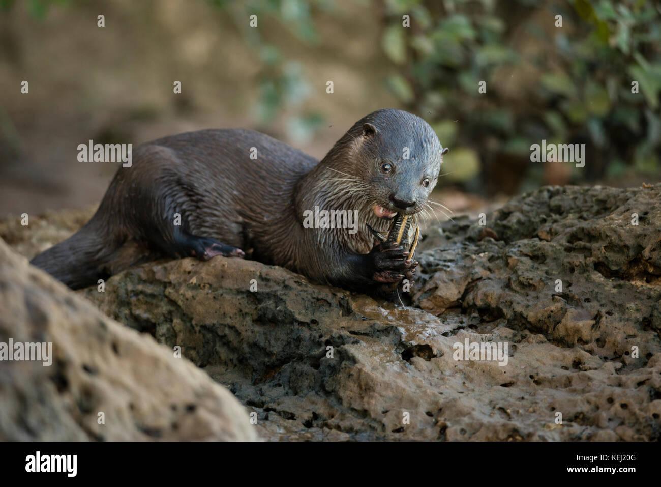 La nutria neotropical comiendo un bagre en el sur de Pantanal, Brasil Foto de stock