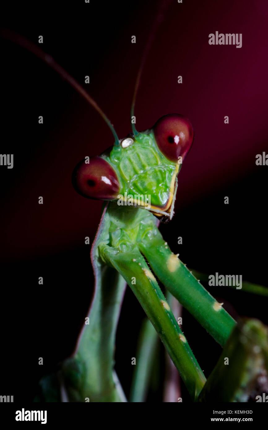 Mantis Imagen De Stock