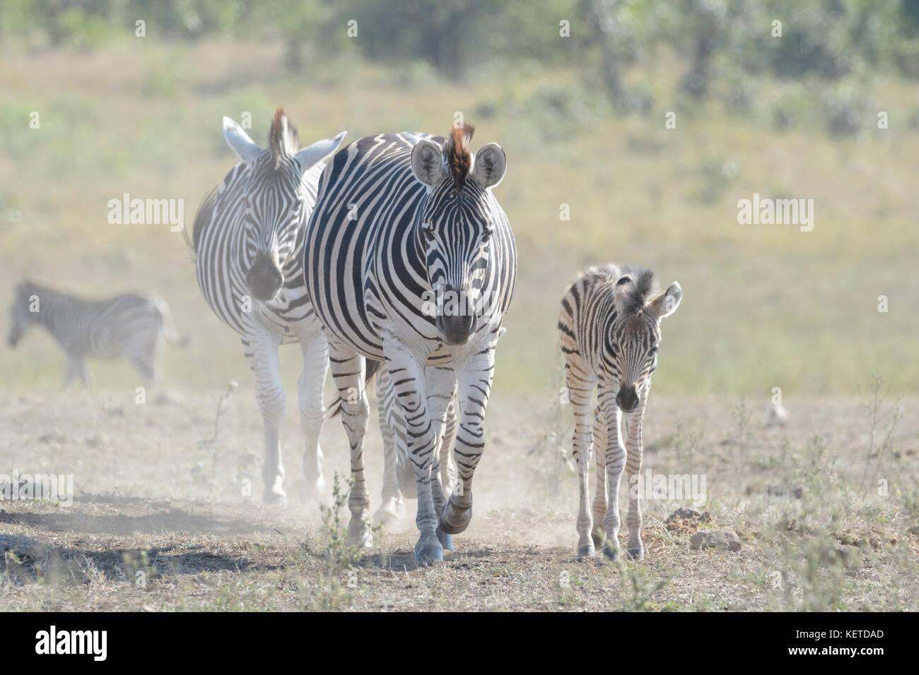 Llanuras cebra (Equus quagga), la madre y el potro caminando por la sabana, el parque nacional Kruger, Sudáfrica Imagen De Stock