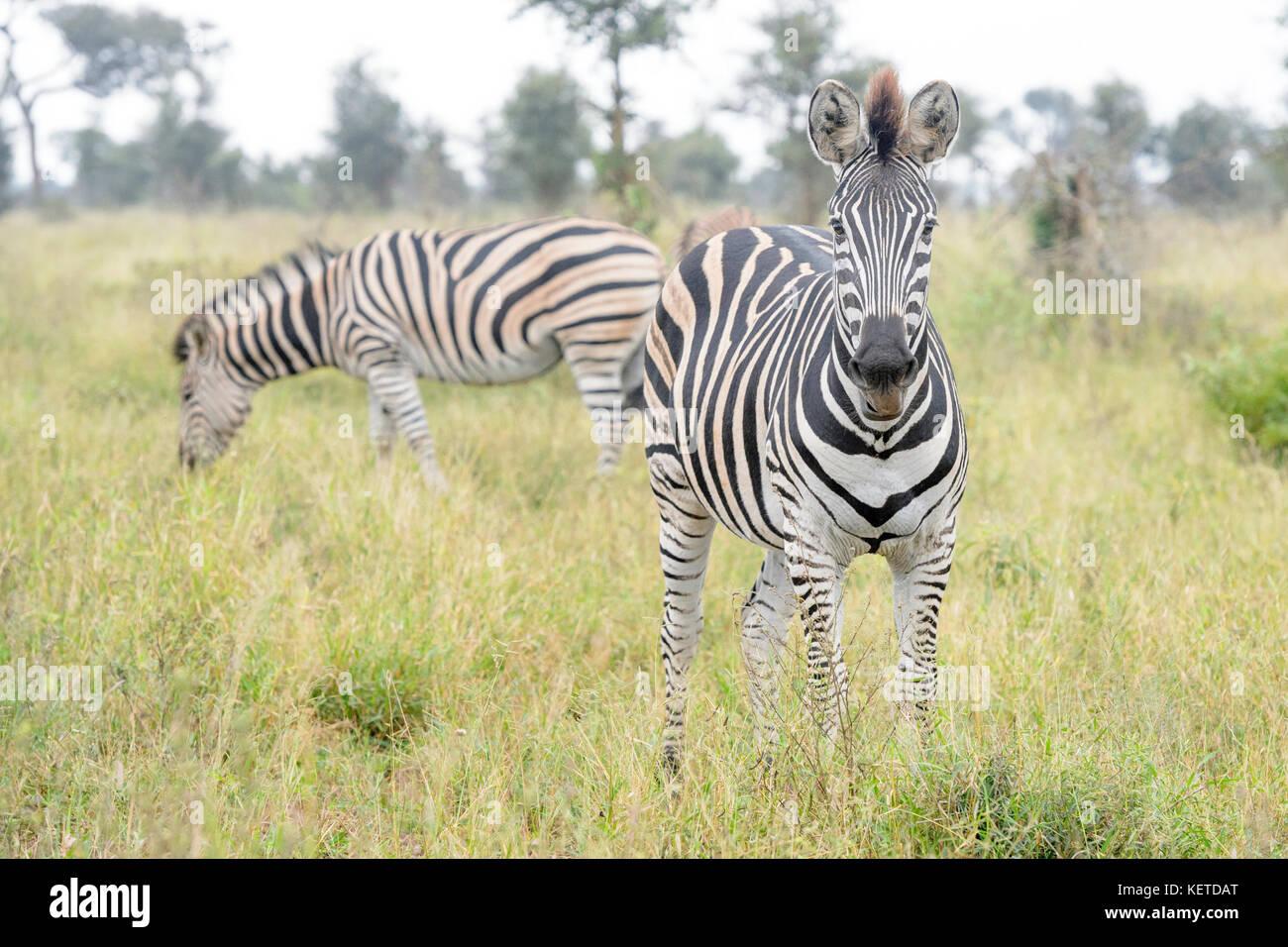 Burchell zebra o planicies cebra (Equus quagga), mirando a la cámara, el parque nacional Kruger, Sudáfrica Imagen De Stock