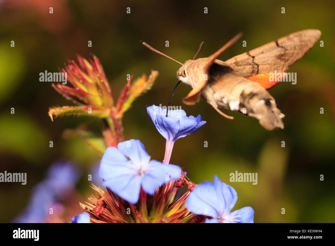 El colibrí Hawk-moth, Macroglossum stellatarum, en vuelo se alimentan de la flor de Ceratostigma willmottianum Foto de stock