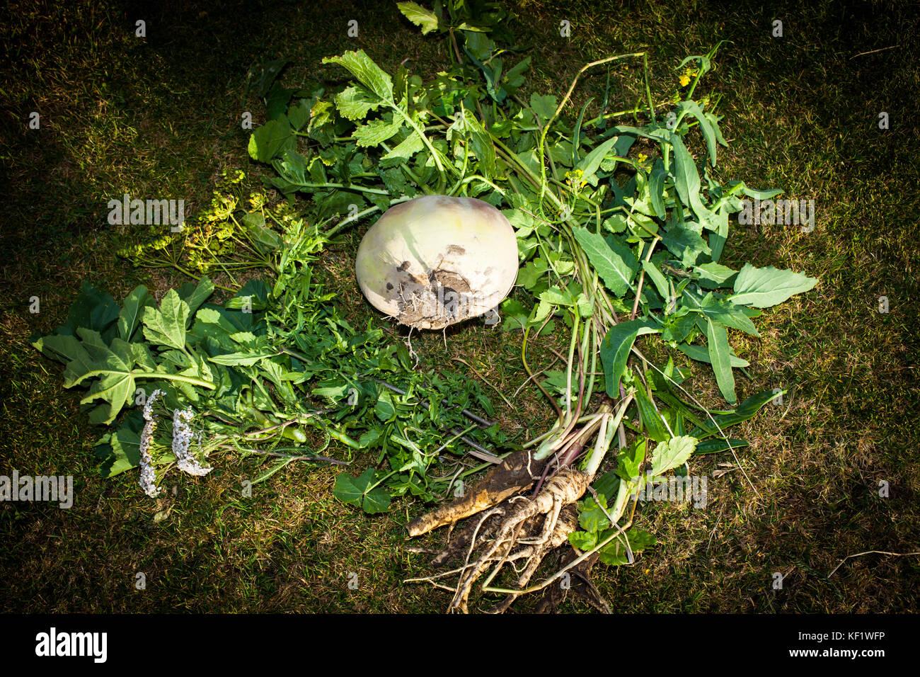 Nabo silvestre, recién forrajeado Imagen De Stock