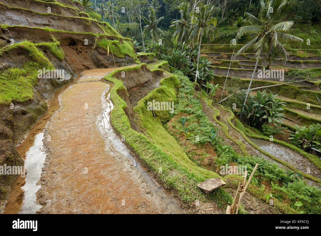 Terrazas de arroz tegalalang. tegalalang village, Bali, Indonesia. Imagen De Stock