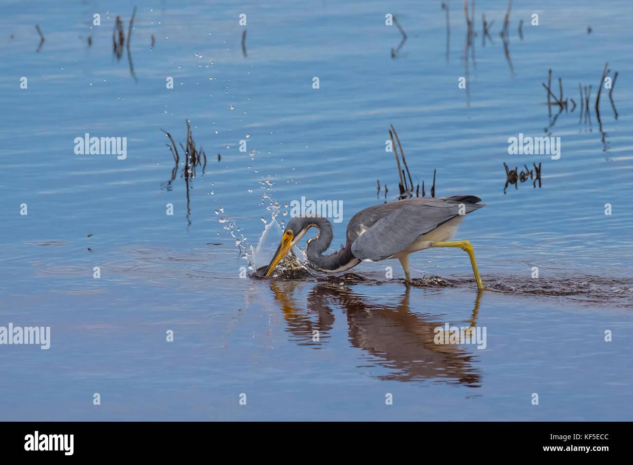 Un adulto tricolores heron (Egretta tricolor), conocido en América del Norte como el louisiana heron buscando comida en un tranquilo estanque de aguas someras Foto de stock