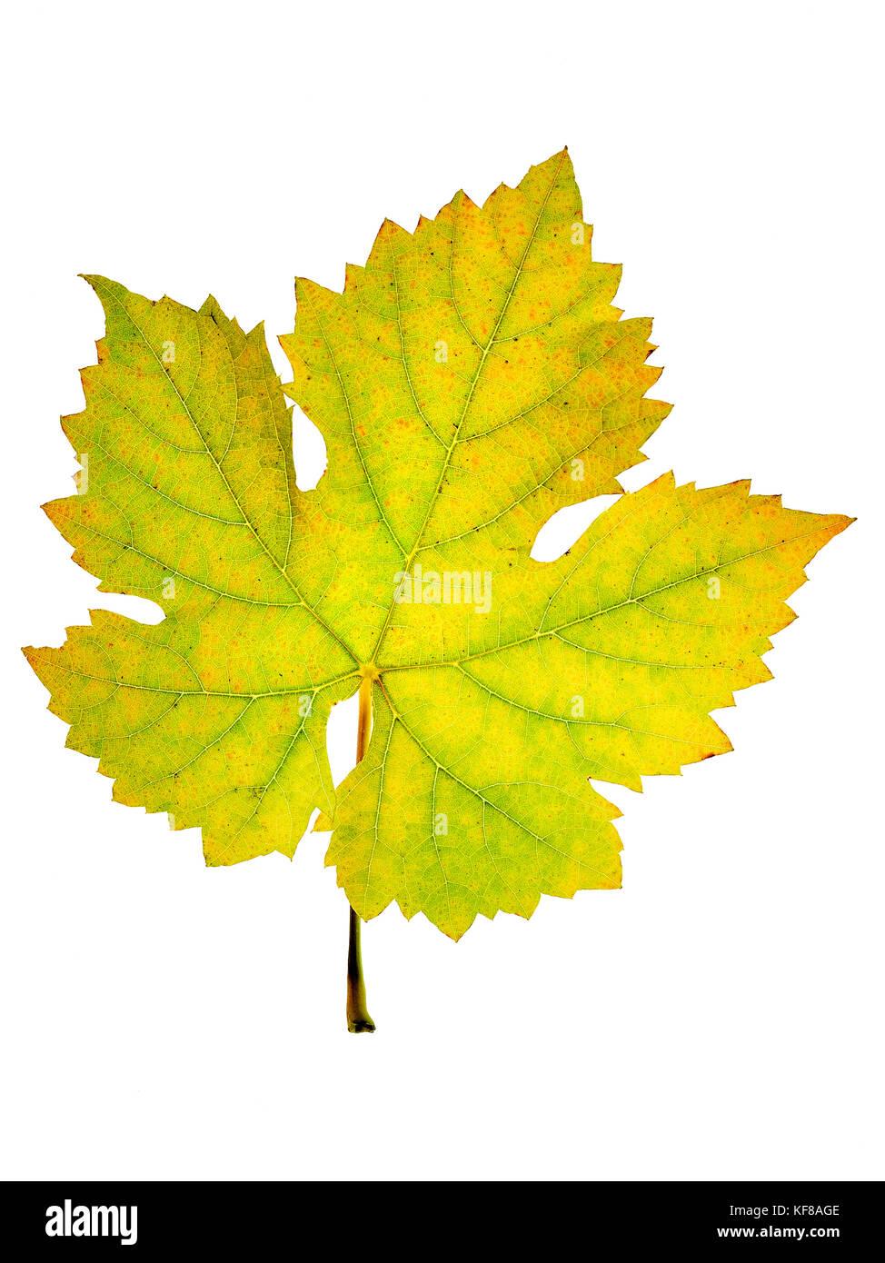 Detalle de la estructura de un amarillamiento de hojas de vid, cosecha en otoño Foto de stock