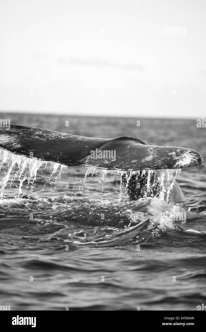 México, baja, Bahía Magdalena, océano pacífico, una ballena gris visto mientras fuera de observación de ballenas en la bahía Foto de stock
