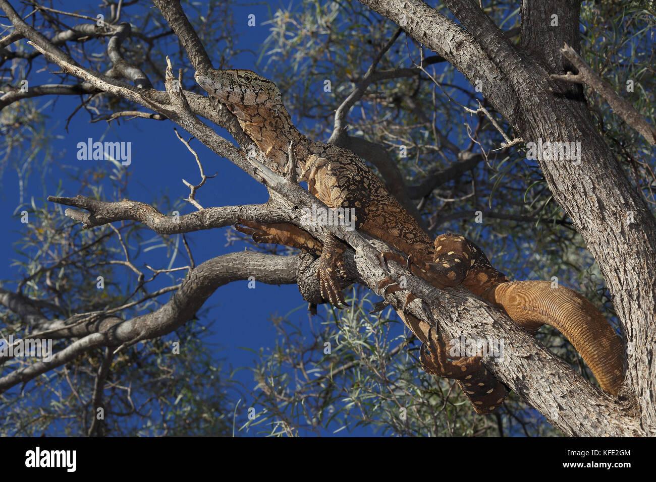 Perentie (Varanus giganteus), el lagarto más grande de Australia, alcanzando una longitud de 2,5 m. se produce Imagen De Stock