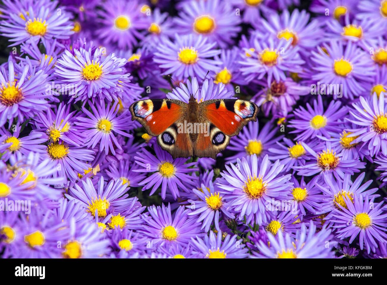 Peacock mariposa sobre la flor Inachis io sentado en Aster dumosus ' Prof. Anton Kippenberg ' Octubre flores Foto de stock