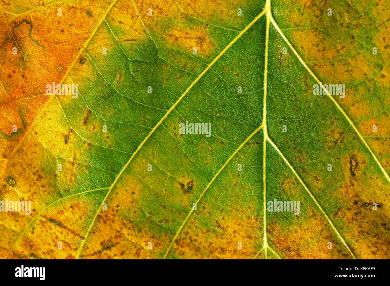 La textura de una hoja de otoño verde y amarillo Foto de stock