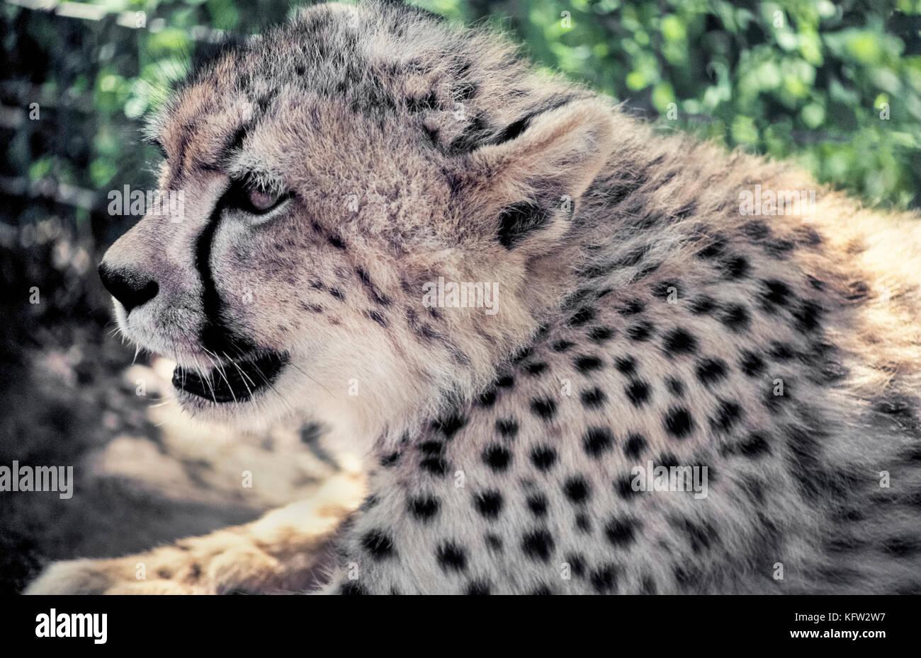 Un perfil de cerca de la cara de un joven guepardo (Acinonyx jubatus) muestra el animal más característicos del marcado, un negro como lacrimógeno streak running abajo de cada ojo a la boca. Las bandas están pensadas para proteger los ojos contra el resplandor del sol. Otra característica distintiva son las manchas de color negro sólido en un Cheetah's coat que ayudan a camuflar el animal terrestre más rápido del mundo y África la mayoría de grandes felinos en peligro de extinción. Fotografiado en Zululand, Sudáfrica. Foto de stock