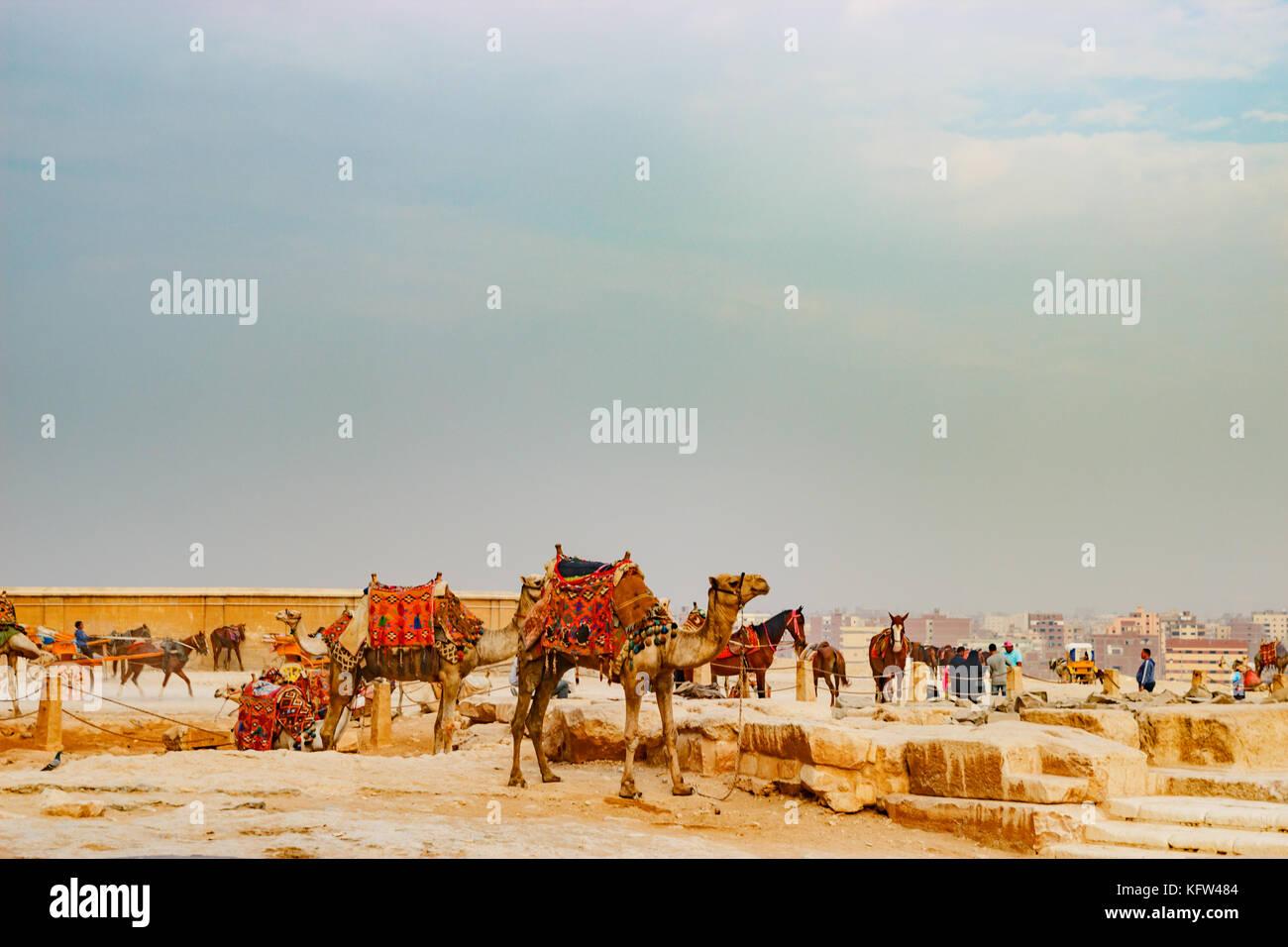 Cerca de la antigua pirámide de camellos en El Cairo, Egipto Imagen De Stock