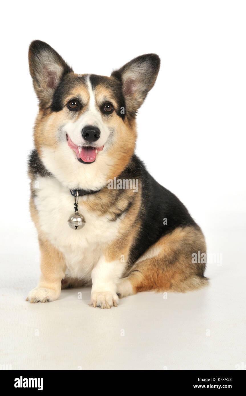 Perro perros mayores con una campana conectada al collar Foto de stock