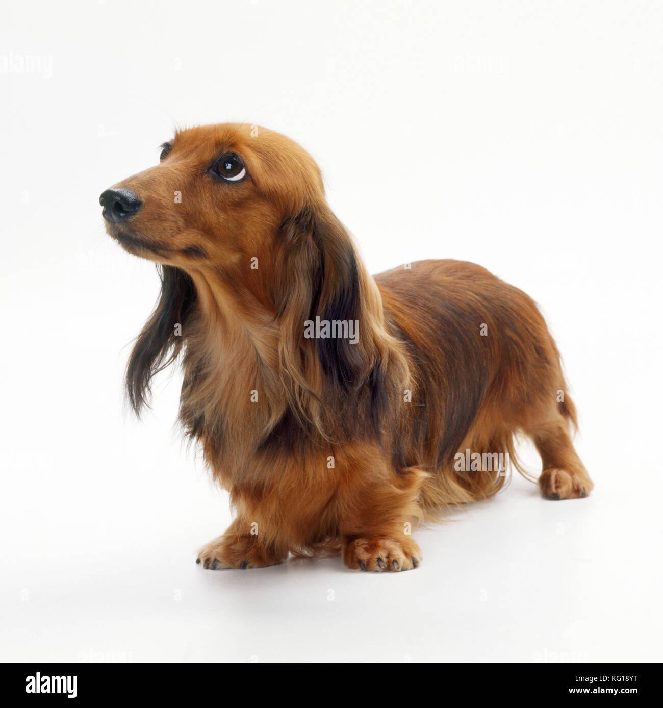 Perro - Miniatura Teckel de pelo largo . También conocido como doxie ... 7dce287ae7c7