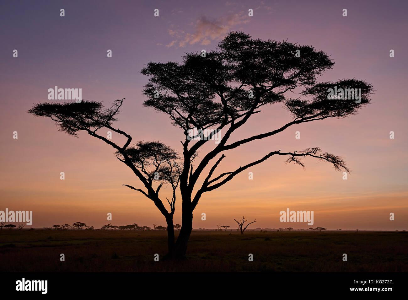 Acacia al amanecer, parque nacional del Serengeti, Tanzania, África oriental, África Foto de stock