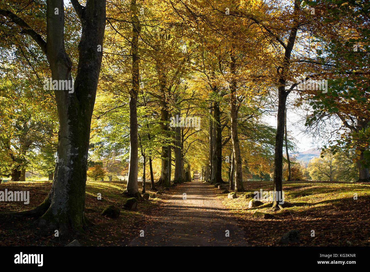 Avenida de lenga en la entrada de Drummond Gardens, cerca de Crieff, Perthshire, Escocia. Foto de stock