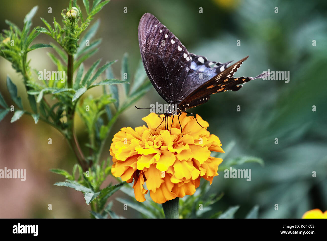 Una especie (Papilio polyxenes spicebush) butterfly alimentación desde una flor caléndula naranja en el sol del Foto de stock