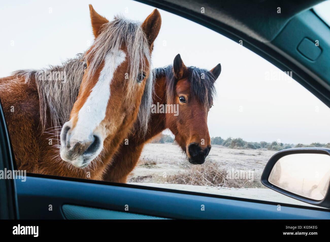 Inglaterra, Hampshire, New Forest, potros mirando a car window Imagen De Stock