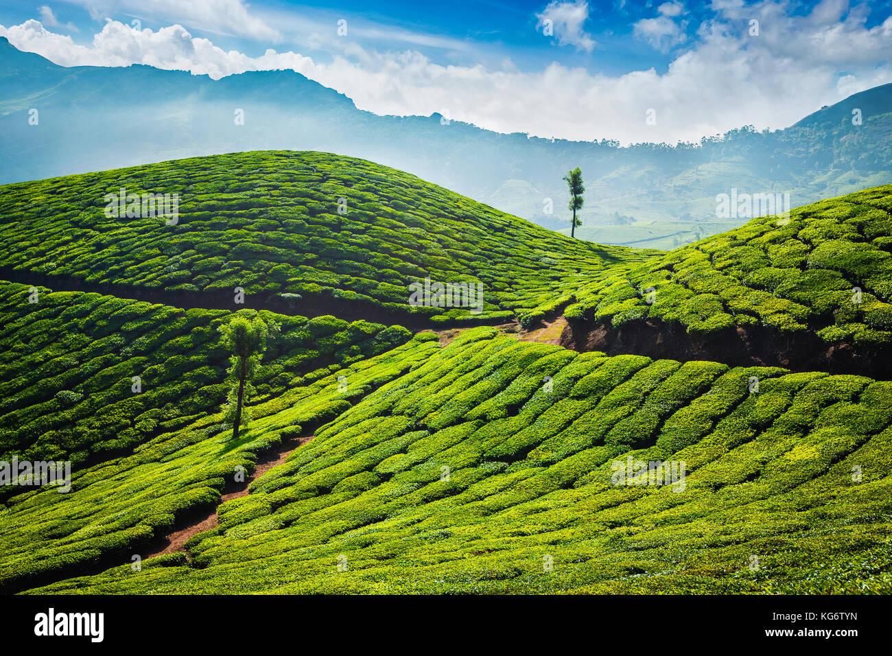 Las plantaciones de té de munnar, Kerala. Imagen De Stock