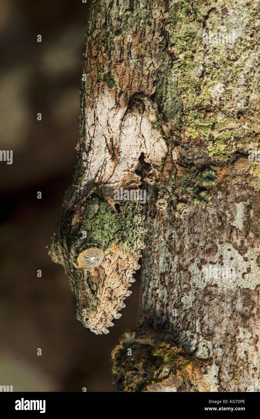 Cabeza abajo, mossy leaf-tailed gecko (Uroplatus sikorae) imitando el color y la estructura de un tronco de árbol, Imagen De Stock