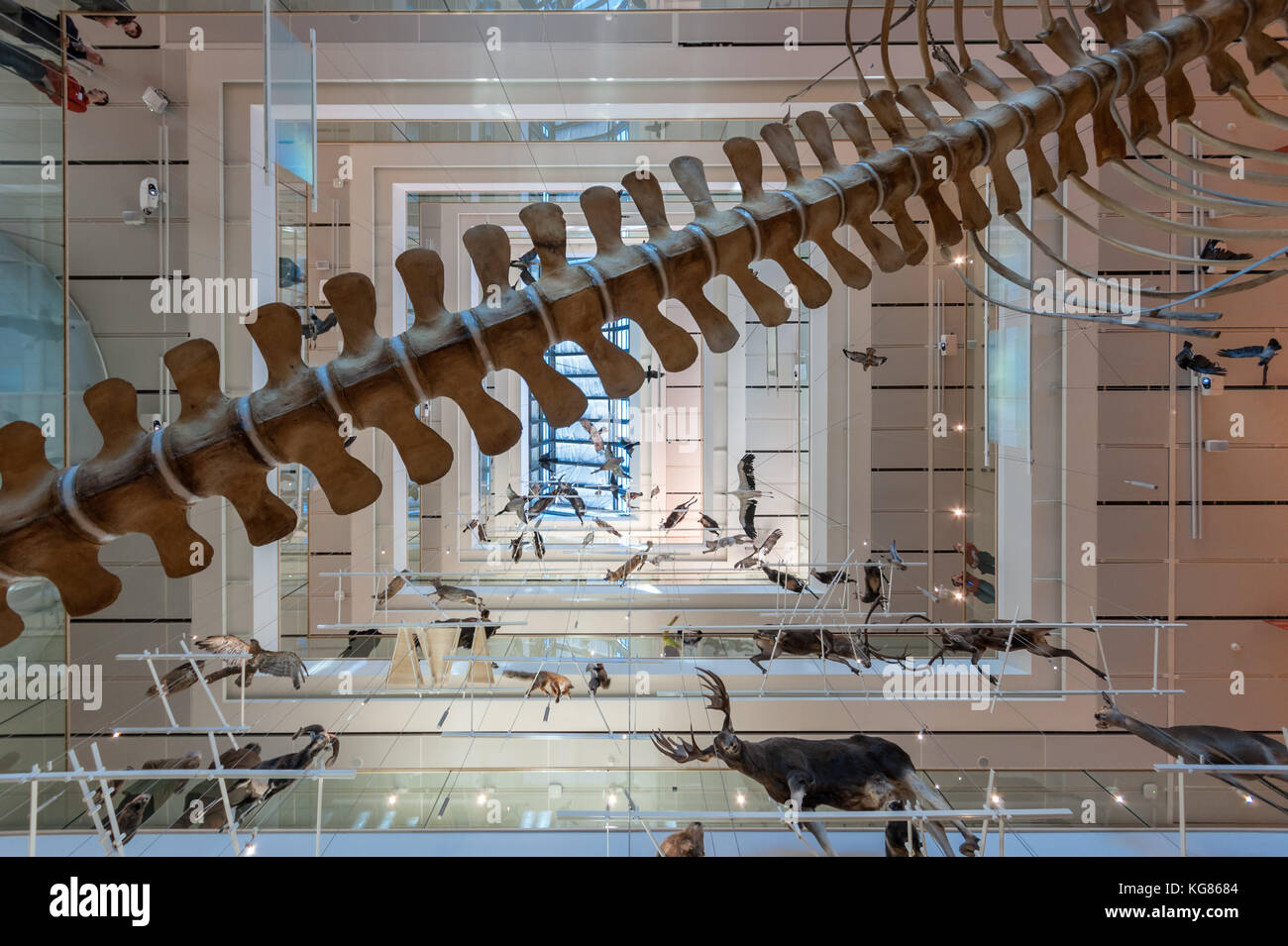 Fósiles de ballenas y cetáceos, exposición permanente. musa Museo delle Scienze Science Museum, Trento, Italia del norte, diseñado en 2013 por Renzo Piano Foto de stock