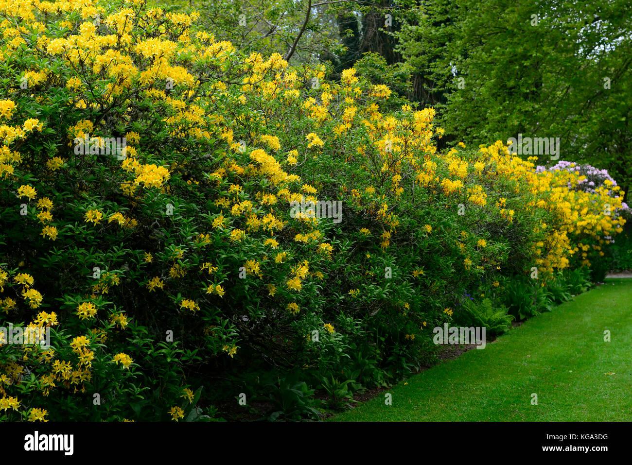 Rhododendron luteum amarillo azalea pontica - Arbustos perennes con flor ...
