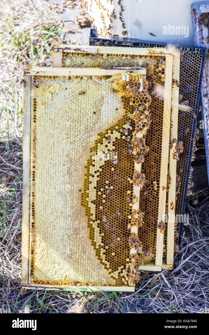 Recopilada con tapas de marcos de la colmena, la miel, las abejas ...