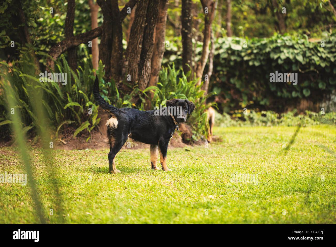 Un Pastor Alemán Cruce Labrador Retriever Cachorro Mirando A La Cámara En Un Patio Fotografía De Stock Alamy