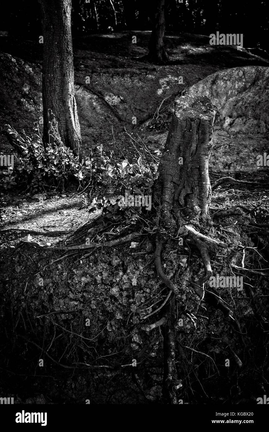 Bosques costeros donde el mar se adentra en el banco de los árboles y un árbol muerto que ha sido talados Imagen De Stock