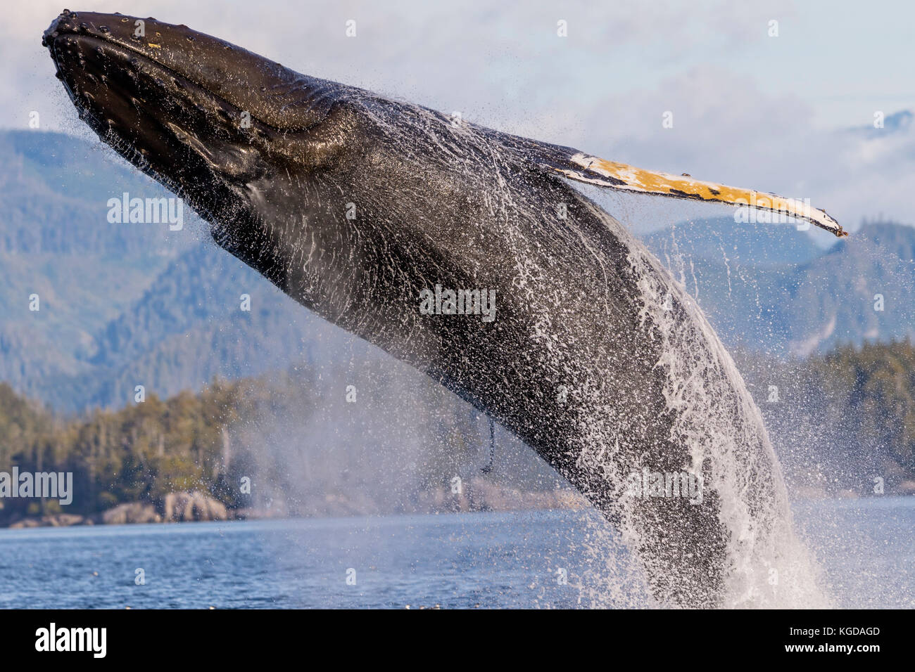 La ballena jorobada (Megaptera novaengliae) Infracción delante de las montañas costeras de Columbia Británica en el estrecho Queen Charlotte fuera de la isla de Vancouver, el hno. Foto de stock