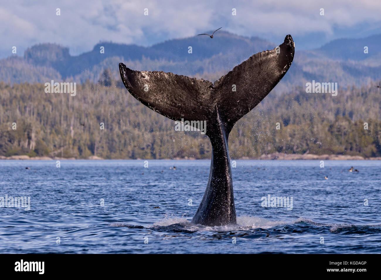 La ballena jorobada (Megaptera novaengliae) Fluke salpicaduras en la parte delantera de la Columbia británica montañas costeras en el estrecho Queen Charlotte off isla de Vancouver Foto de stock