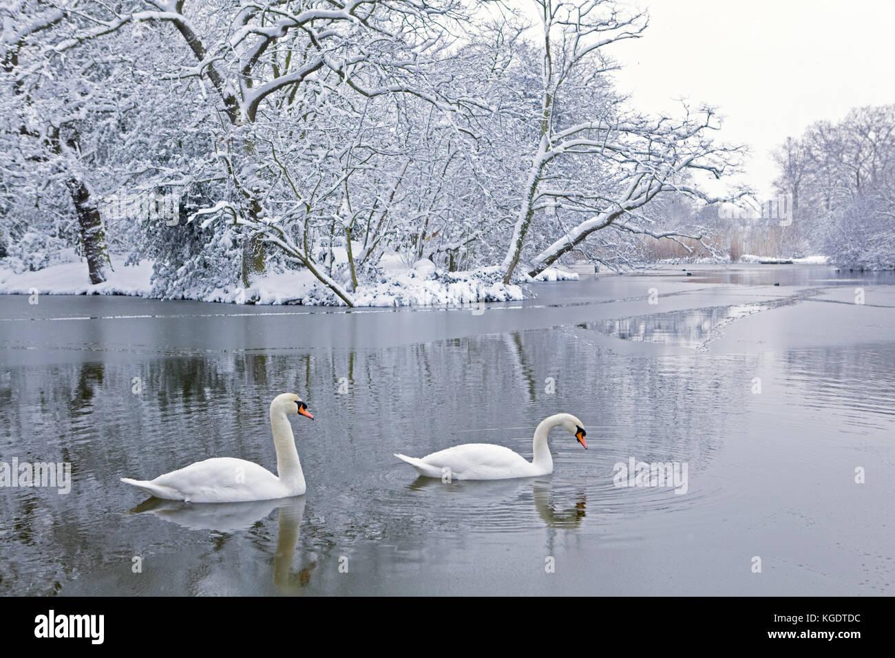 Dos cisnes en el estanque en invierno, streatham common, Londres. Imagen De Stock