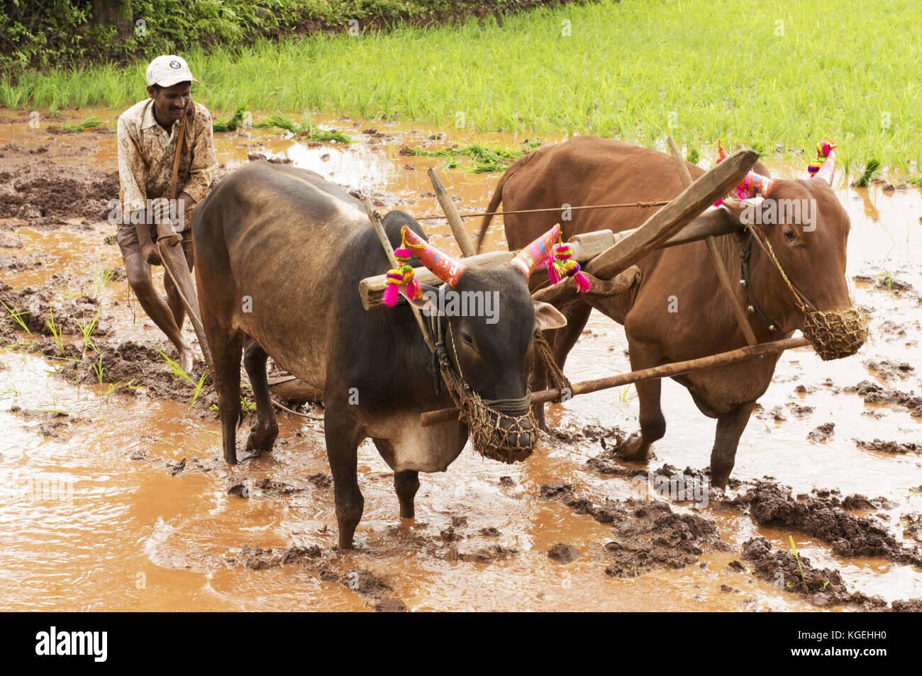 Agricultor arando los campos de arroz con sus toros antes de plantar el arroz, Pune, Maharashtra Foto de stock