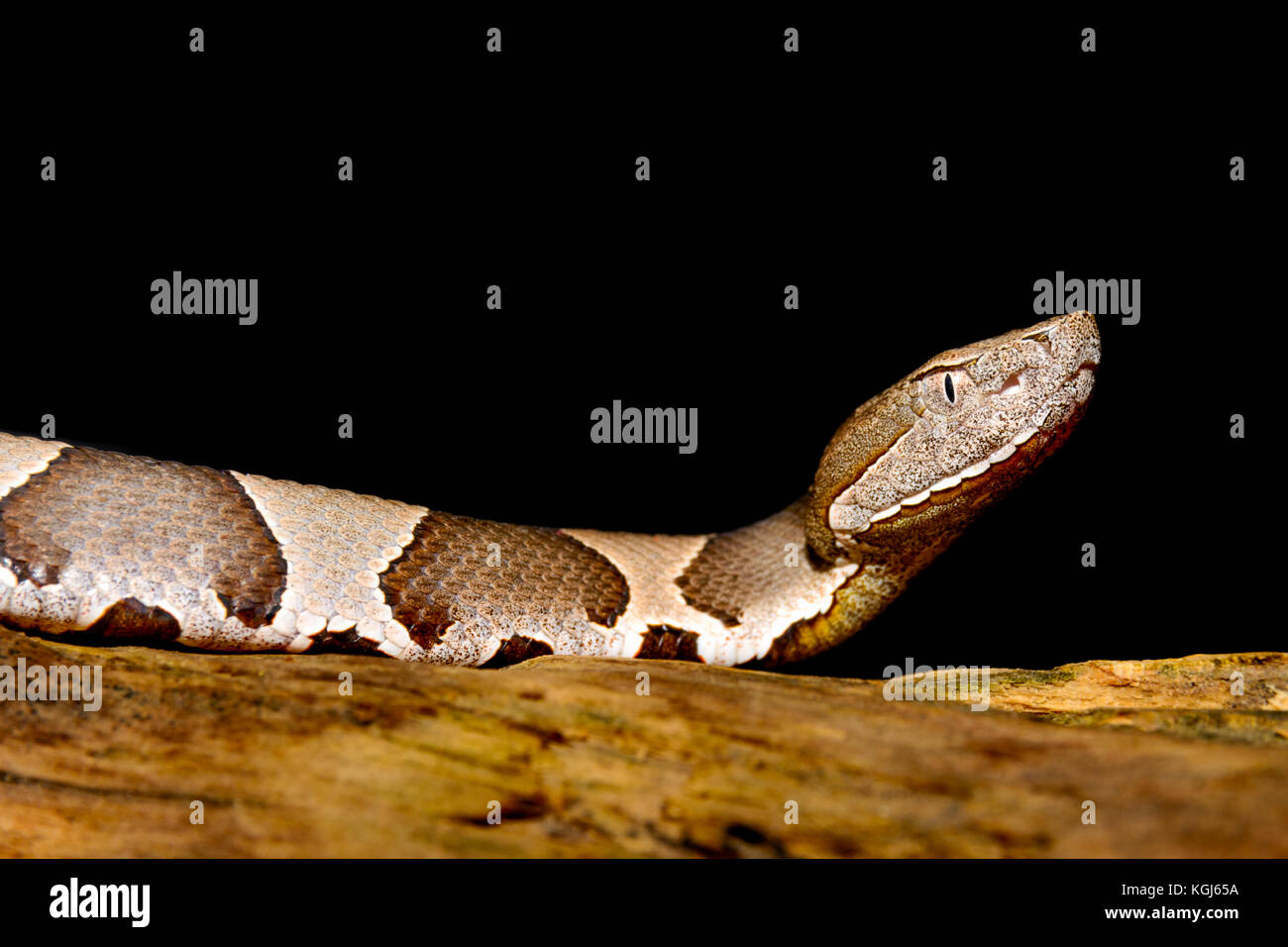 La serpiente cabeza de cobre (copperhead) de banda ancha (agkistrodon contortrix laticinctus) sobre fondo negro Imagen De Stock