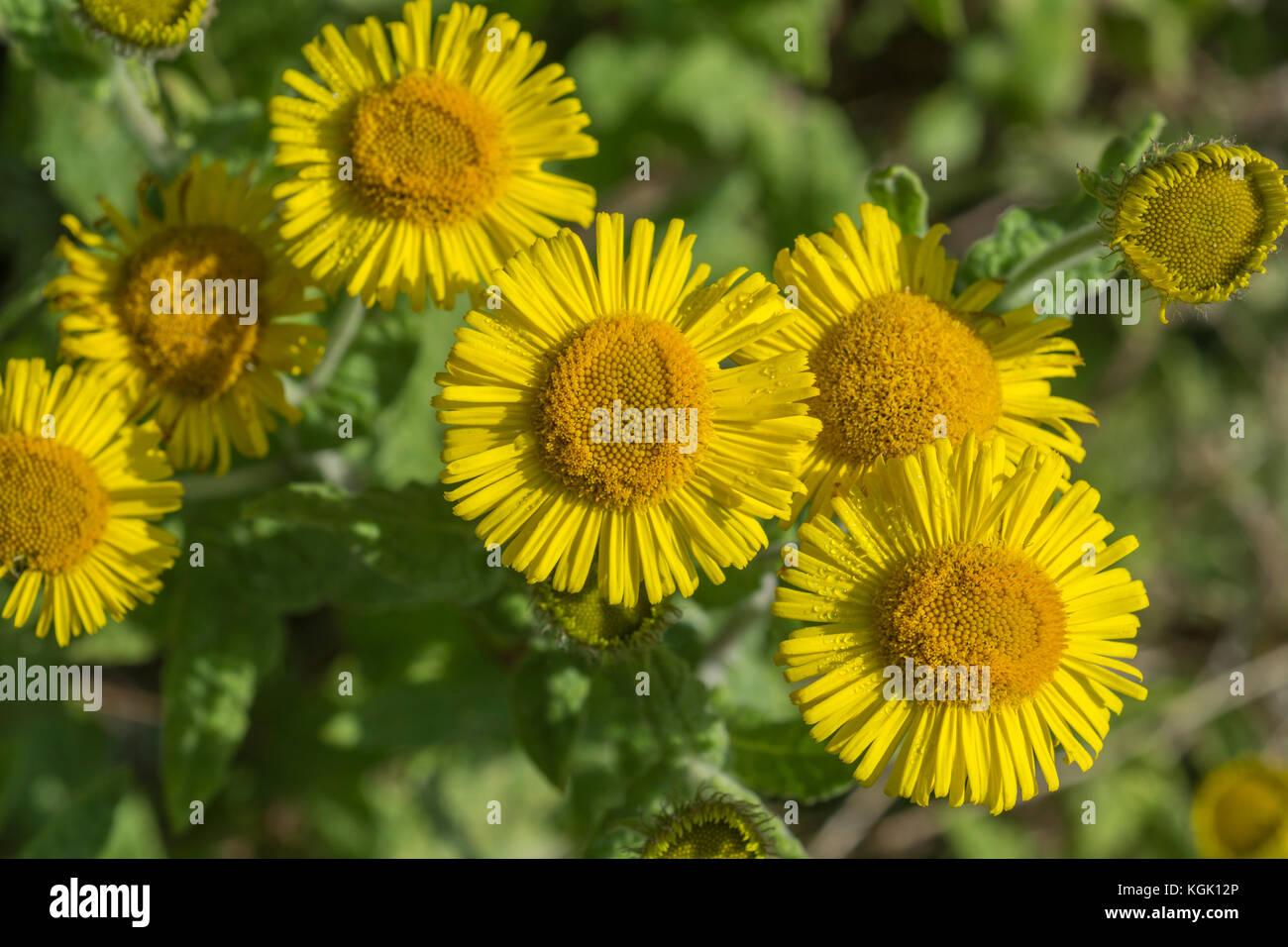 Flores Amarillas De Fleabane Pulicaria Dysenterica Antiguamente