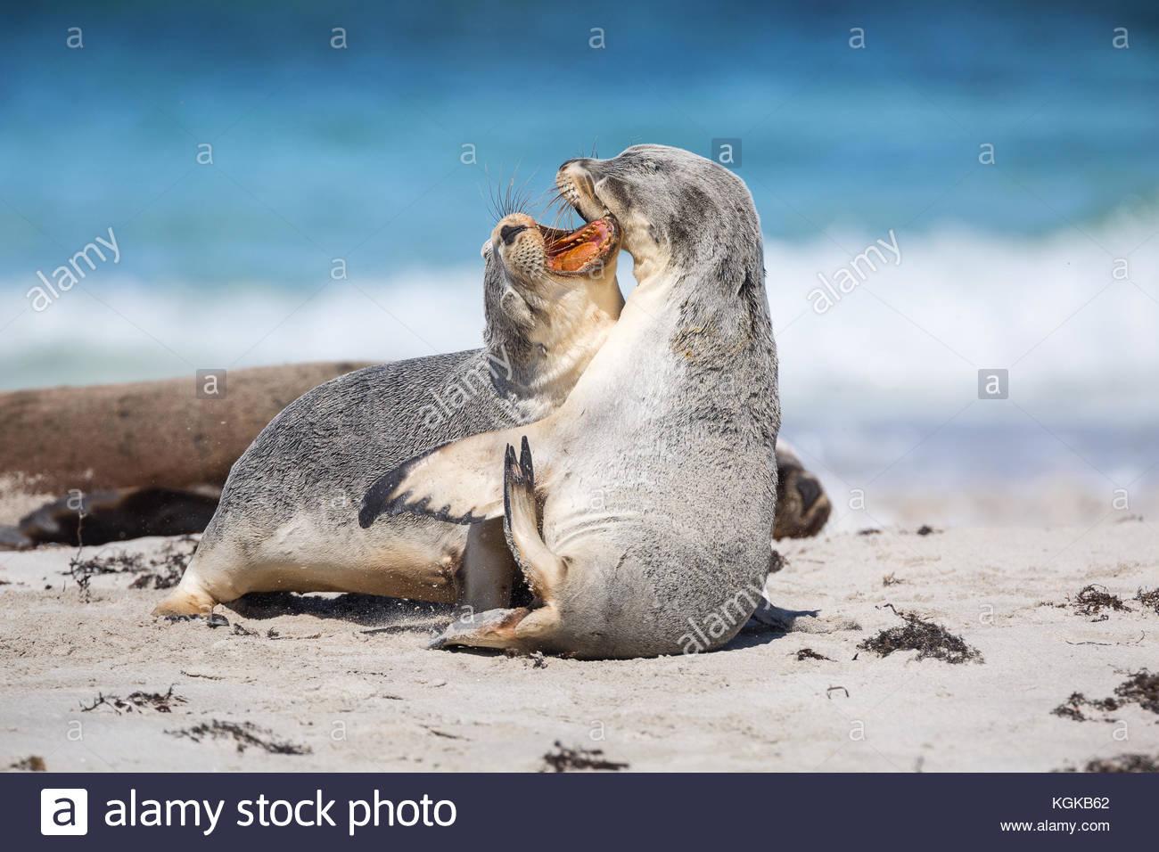Los jóvenes leones marinos australianos, Neophoca cinerea, formular uno al otro en la playa. Imagen De Stock