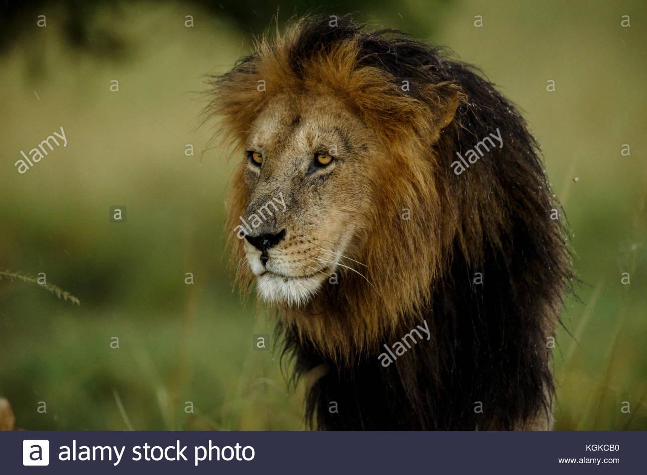 Retrato de un hombre león, Panthera leo, en la Reserva Nacional de Masai Mara. Imagen De Stock