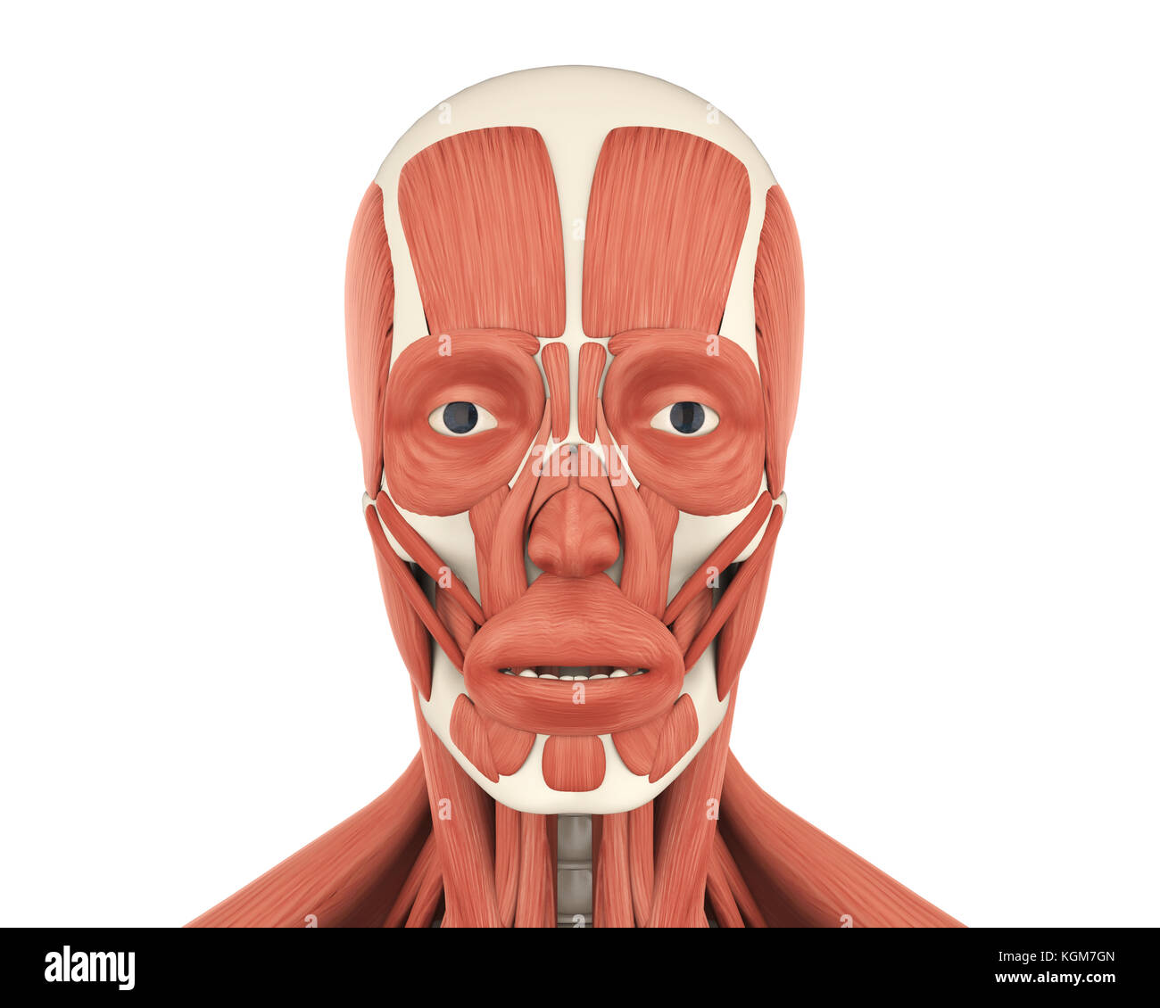 Los músculos faciales anatomía humana Imagen De Stock
