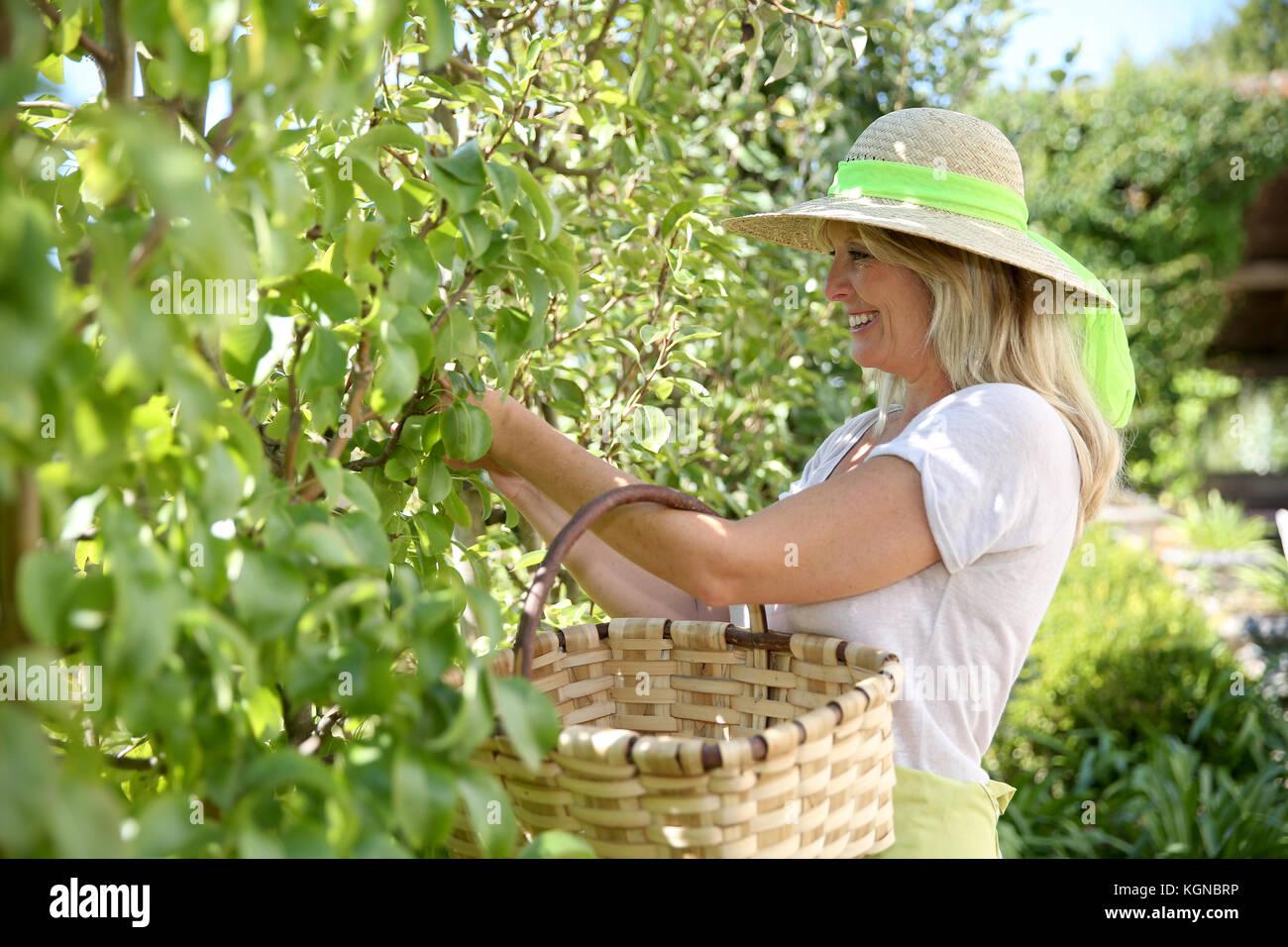 Sonriente mujer rubia recogiendo frutas de árbol Imagen De Stock