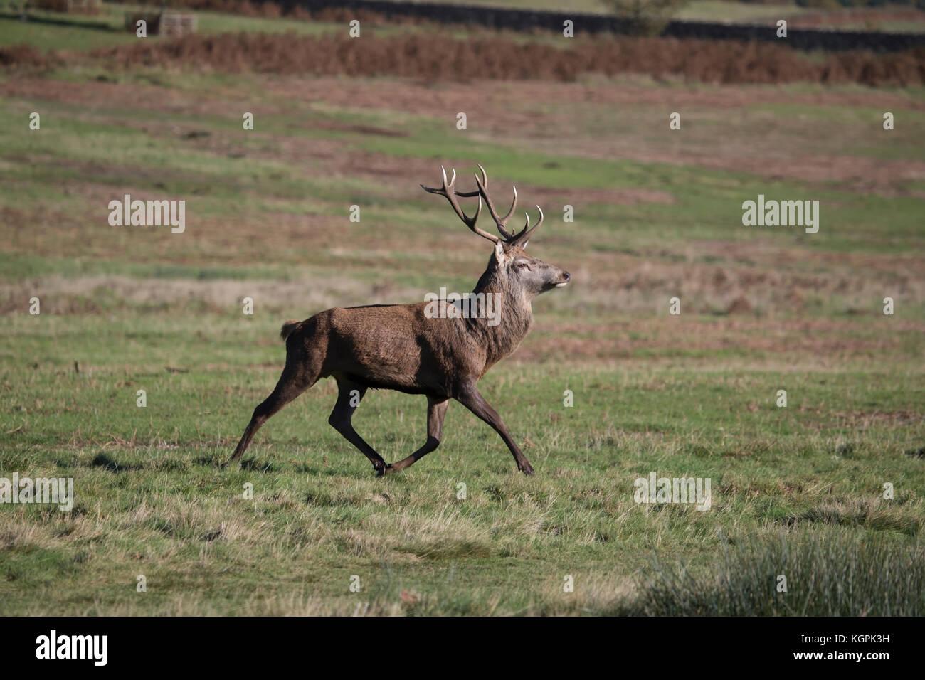 Ciervo con grandes cuernos de ciervo Cervus elaphus trote a través de parkland en finales de otoño Imagen De Stock