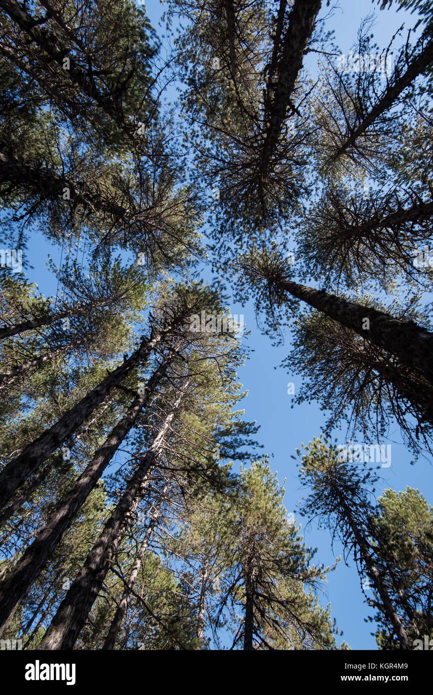 Bosque de árboles altos pinos en las copas de los árboles en la tarde y el azul claro del cielo en las Imagen De Stock