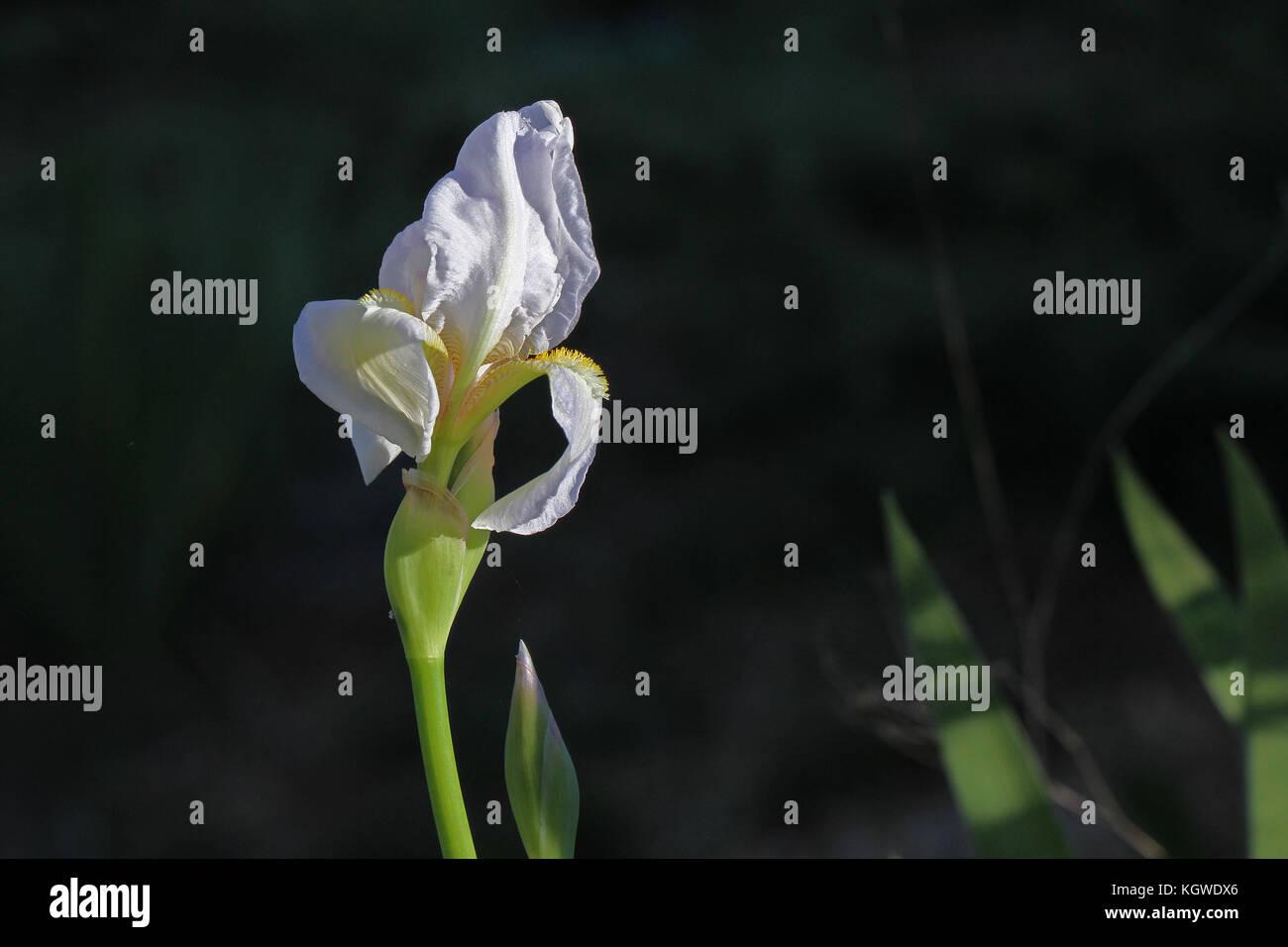Bandera blanca iris o iris barbado flor muy de cerca a nombre latino pogoniris de iridaceae familia en Italia en Foto de stock